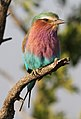 Lilac-breasted Roller, Coracias caudatus at at Mapungubwe National Park, Limpopo, South Africa (17411327273).jpg