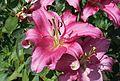 Lilien (Lilium) (9515761078).jpg