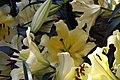Lilium Conca dOr 4zz.jpg