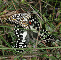 Lime Butterfly (Papilio demoleus) mating in Narshapur, AP W IMG 0893.jpg