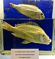 Limnotilapia dardenni (top), Lobochilotes labiatus (bottom) - Royal Museum for Central Africa - DSC06856.JPG