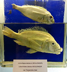 Limnotilapia dardenni (top), Lobochilotes labiatus (bottom) - Royal Museum for Central Africa - DSC06856.JPG