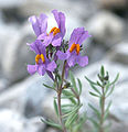 Linaria.alpina.web.jpg
