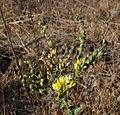 Linaria dalmatica 4.jpg