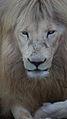 Lion (8165038504).jpg