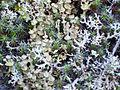Liquen Cladonia cervicornis subsp. verticillata Grupo 2012-1-08 Robledillo SierraMadrona.jpg
