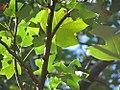 Liriodendron chinense 3zz.jpg