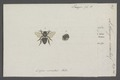 Lithurgus - Print - Iconographia Zoologica - Special Collections University of Amsterdam - UBAINV0274 045 06 0024.tif