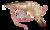 Litopenaeus setiferus.png