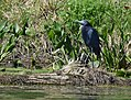 Little Blue Herons (34191917551).jpg