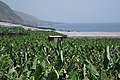 Little green house on a big green banana plantation near El Remo, shouth-western La Palma (Canary Islands, 2015) - panoramio.jpg
