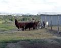 Llama ranch near Hotchkiss, Colorado LCCN2011631810.tif