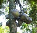 Lodoicea maldivica-Jardin botanique de Kandy (2).jpg