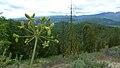 Lomatium dissectum var. dissectum green fruit 3.jpg
