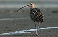 Long-billedCurlew-18FEB2016.jpg
