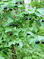 Lonicera nigra (massif des Vosges).jpg