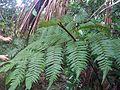 Lophosoria quadripinnata Acre campus floresta.jpg