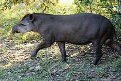 Lowland Tapir (Tapirus terrestris) male out of the forest ... - Flickr - berniedup.jpg