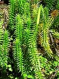 Lycopodium annotinum 1 (5097447317).jpg