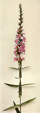 Lythrum salicaria WFNY-143B.jpg