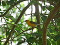 MN Prothonatry Warbler (15081701541).jpg