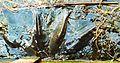 MOs810, WG 2014 39, Milicz Ponds Jamnik Gorny pond Cyprinus carpio, karp milicki (2).JPG
