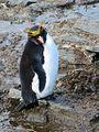 Macaroni Penguin (15964321830).jpg