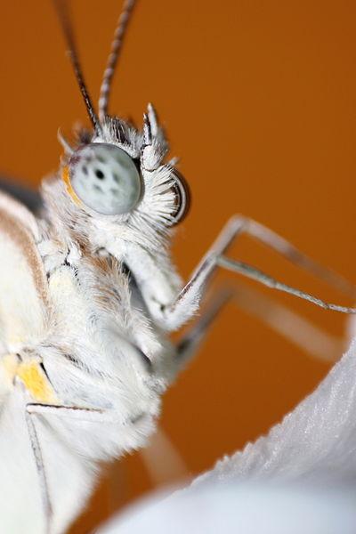Ficheiro:Macro of a Butterfly's face.JPG