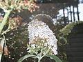 Macroglossum stellatarum (2867518638).jpg