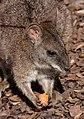 Macropus parma - Karlsruhe Zoo.jpg