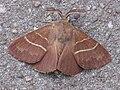 Macrothylacia rubi male, veelvraat mannetje.jpg