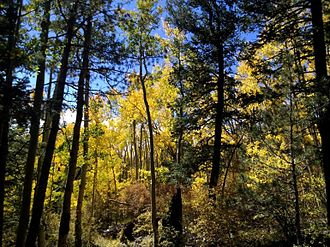 Magdalena Mountains - A stand of aspen within the Magdalena Mountains.