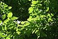 Magniolia acuminata JPG1b.jpg