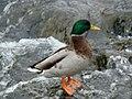 Malard Duck.JPG