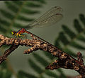 Male Blackline Hawaiian damselfly by Dan Polhemus (7981009105).jpg