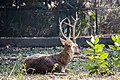 Male deer with perfect antler - Pink005.jpg
