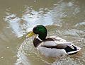 Mallard Duck (Anas platyrhynchos) (33114077215).jpg