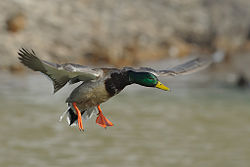 Bird with wings forward. Yellow bill, green head with white collar, brown body with blue wing feathers and orange feet.