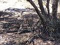 Malleefowl-camouflaged.JPG