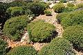 Malta - Ghajnsielem - Comino - Euphorbia melitensis 02 ies.jpg