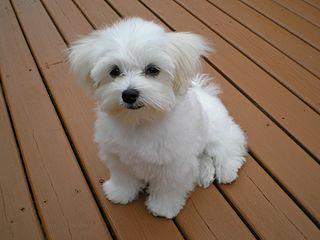 Maltese Cros Toy Poodle Dog
