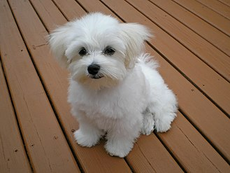 Maltese dog - The Maltese puppy