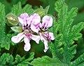 Malva-flor-dsc03048.jpg