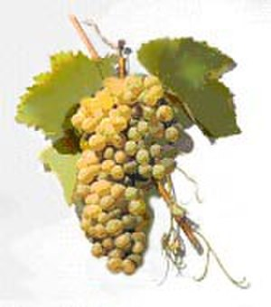 Greco (grape) - Greco is often blended with Malvasia (pictured).