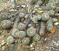 Mammillaria bombycina 08 ies.jpg