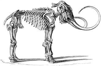 Adams mammoth - Wilhelm Gottlieb Tilesius' etching of the Adams mammoth skeleton now on display in the Museum of Zoology, Saint Petersburg.