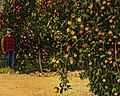 Man in An orchard at its best, near Benton Harbor and St. Joseph, Mich (66298) (cropped).jpg