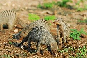 Inbreeding - Image: Mangoustes rayées Banded Mongooses