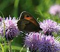 Maniola jurtina (Meadow Brown) - Flickr - S. Rae (1).jpg