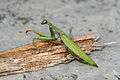 Mantidae RN04177.jpg